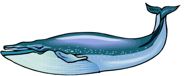 whale clipart humpback getdrawings
