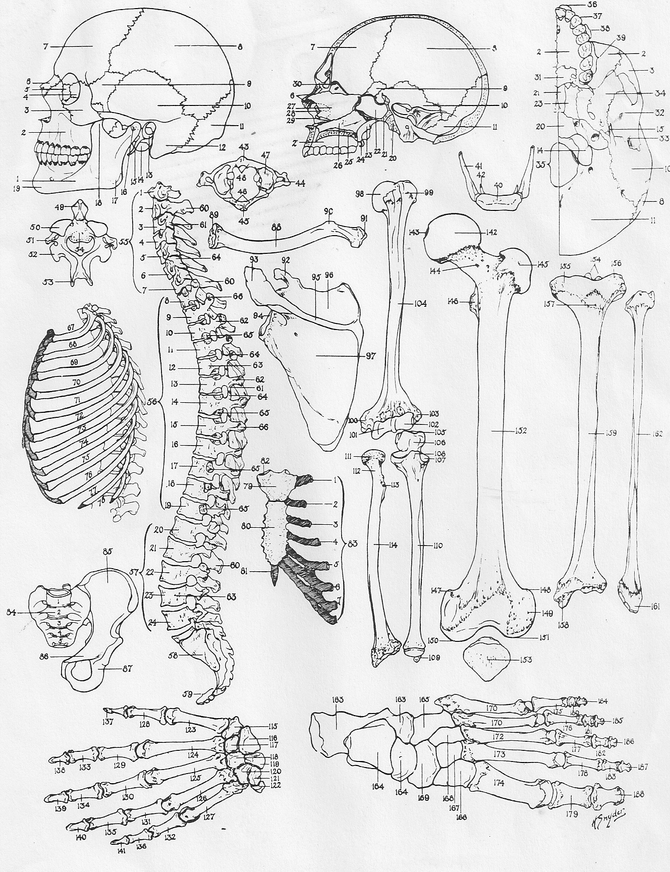 Faerlmarie Coloring Pages 33 Anatomy And Physiology