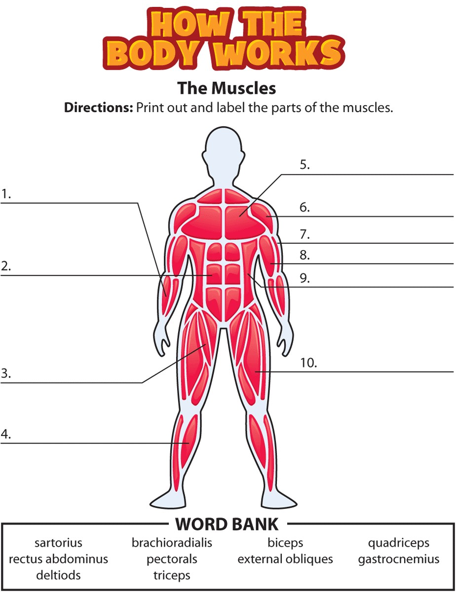 hight resolution of 924x1200 drawing free body diagram key best of muscle diagram blank anatomy