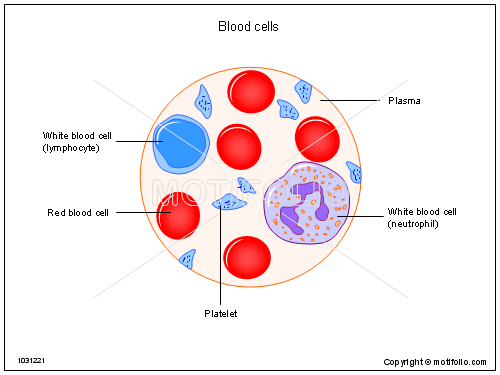 White Blood Cells Diagram