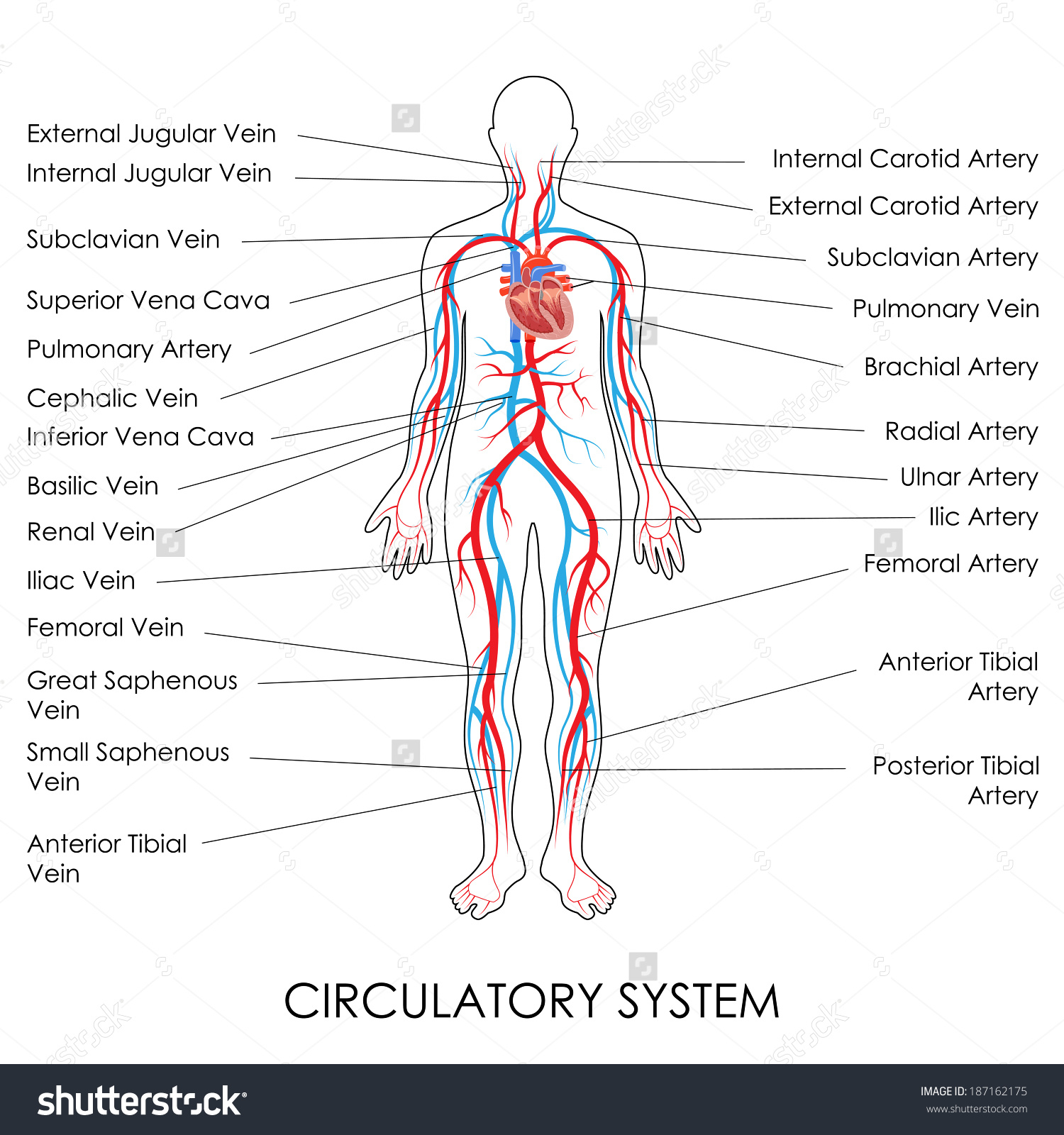 how to draw a system diagram 2006 chevy impala stereo wiring circulatory drawing at getdrawings free for