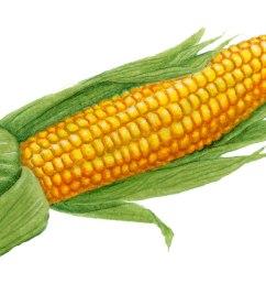 1528x883 ear of corn clipart picture clipartmonk [ 1528 x 883 Pixel ]
