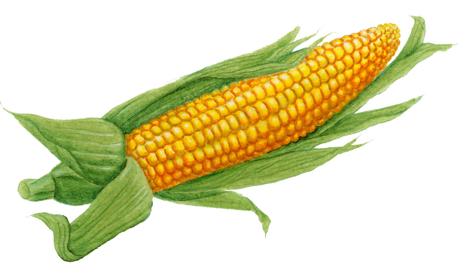 hight resolution of 1528x883 ear of corn clipart picture clipartmonk