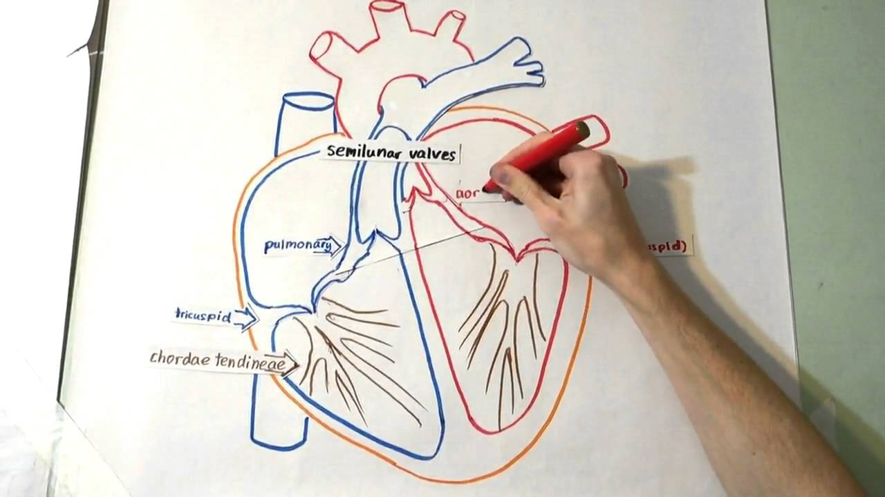 hight resolution of 1280x720 the heart structure and function