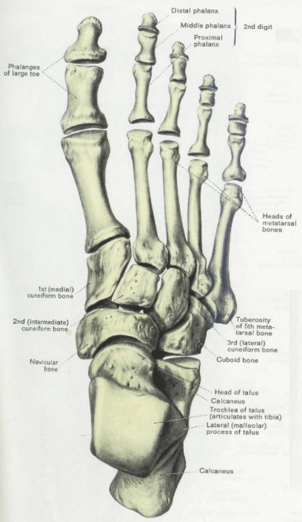medium resolution of 1012x1752 anatomy amp physiology illustration egeszseg megorzo