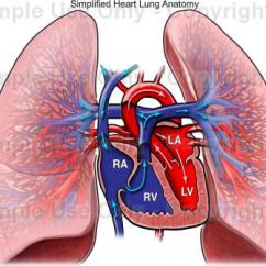 Human Heart And Lungs Diagram Ezgo Electric Golf Cart Wiring Drawing At Getdrawings Com Free For Personal Use 432x335 Simplified Lung Anatomy