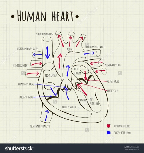 small resolution of 1500x1600 heart diagram drawing
