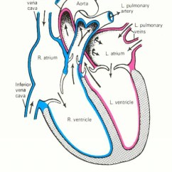 Realistic Heart Diagram 2003 Buick Lesabre Wiring Human Simple Drawing At Getdrawings Com Free For Personal 1024x1285 Sketch