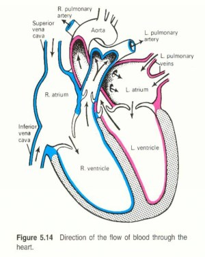 heart diagram human simple blank sketch drawing circulatory system labels blood flow worksheet unlabeled clip through easy clipart anatomy label