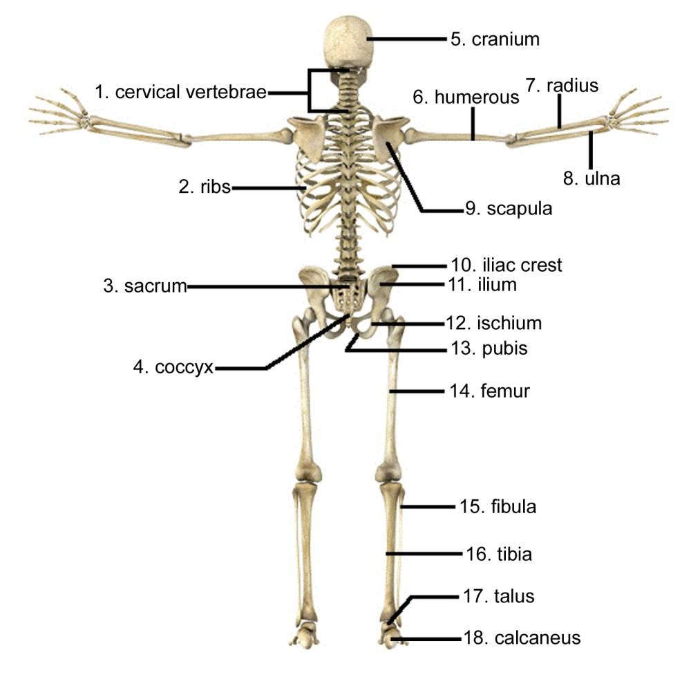 medium resolution of 1597x1564 draw and label the human skeleton system pictures skeleton arm