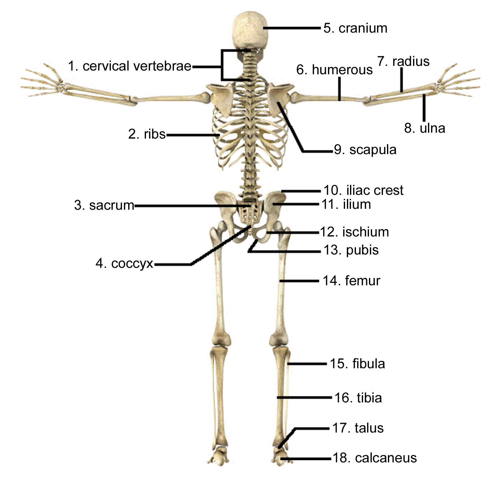 hight resolution of 1597x1564 draw and label the human skeleton system pictures skeleton arm
