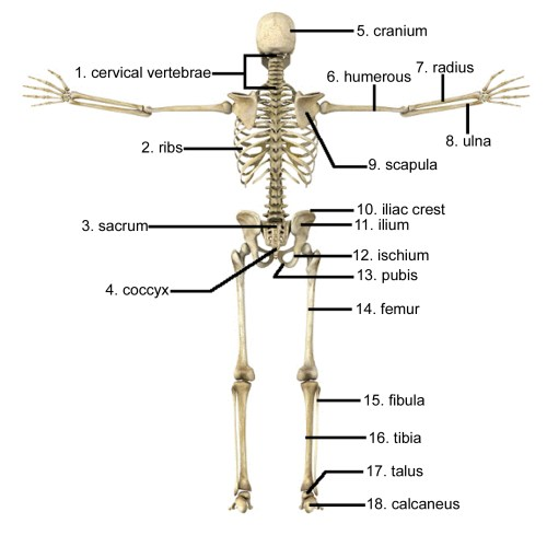 small resolution of 1597x1564 draw and label the human skeleton system pictures skeleton arm