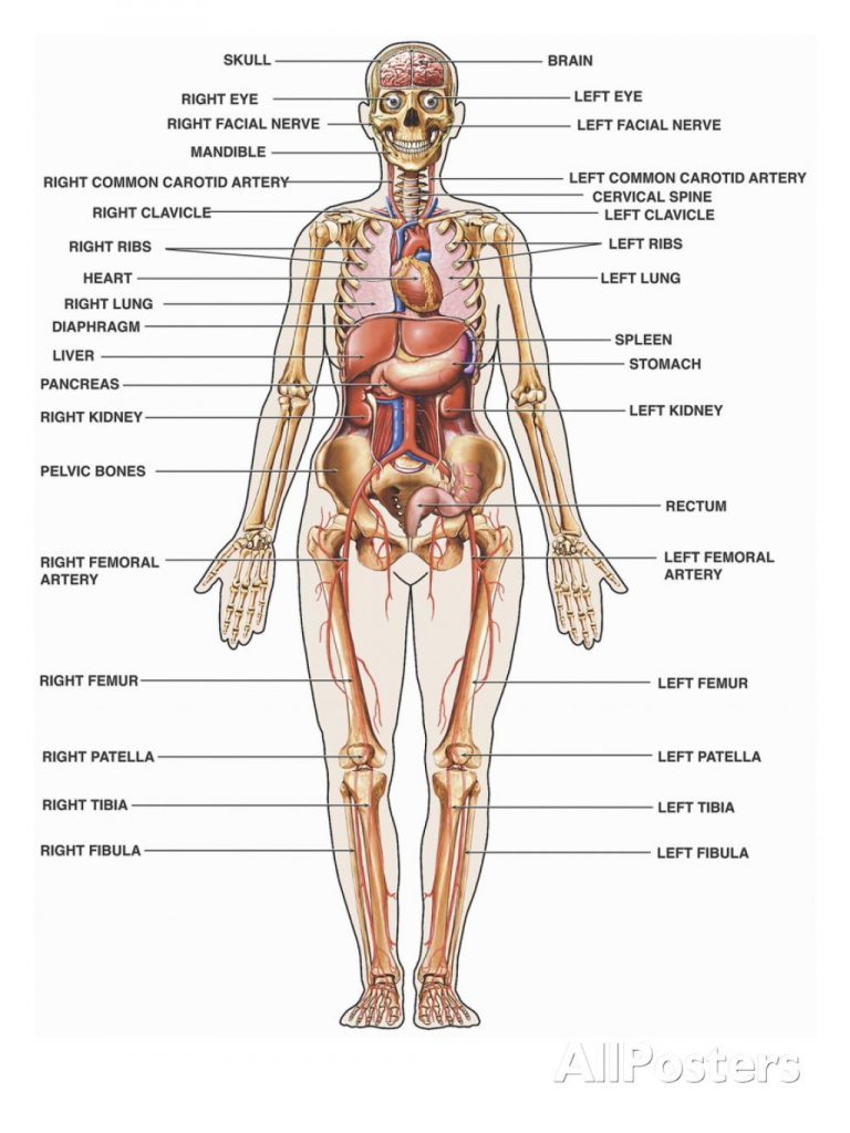 hight resolution of 768x1024 diagram human body organs labeled