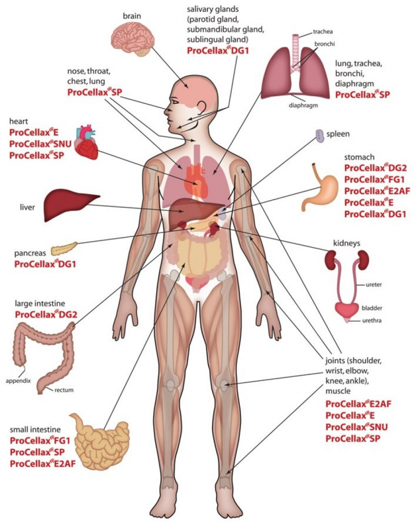 medium resolution of 812x1024 labelled diagram of the human body diagram human body organs