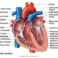 Realistic Heart Diagram Electrical House Wiring Diagrams Symbols Labeled Drawing Of The At Getdrawings Com Free For Personal 1344x1008 Human Anatomy Frontal Section Trabeculae Carneae