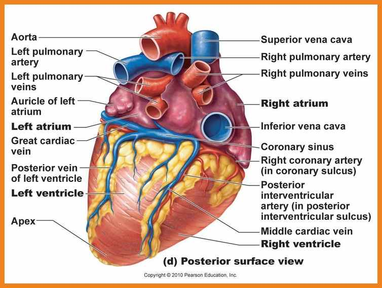 the lung anatomy diagram label 70 volt speaker volume control wiring labeled drawing of heart at getdrawings com free for personal 754x570 teller resume sample