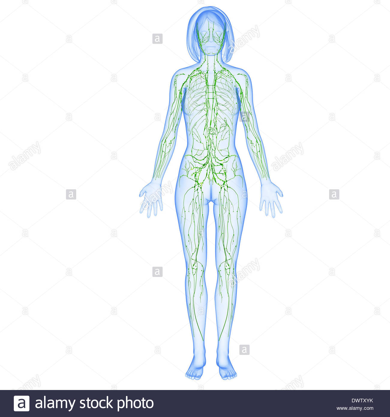 Related Pictures Full Body Diagram Showing The Lymphatic Nodes