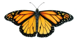 butterfly monarch illustration drawings drawing butterflies orange coloring draw sketch background colorful wings all4desktop dpi getdrawings mocah celebration date june