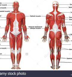 1300x1042 anatomy of the muscular system stock photo 7710491 [ 1300 x 1042 Pixel ]