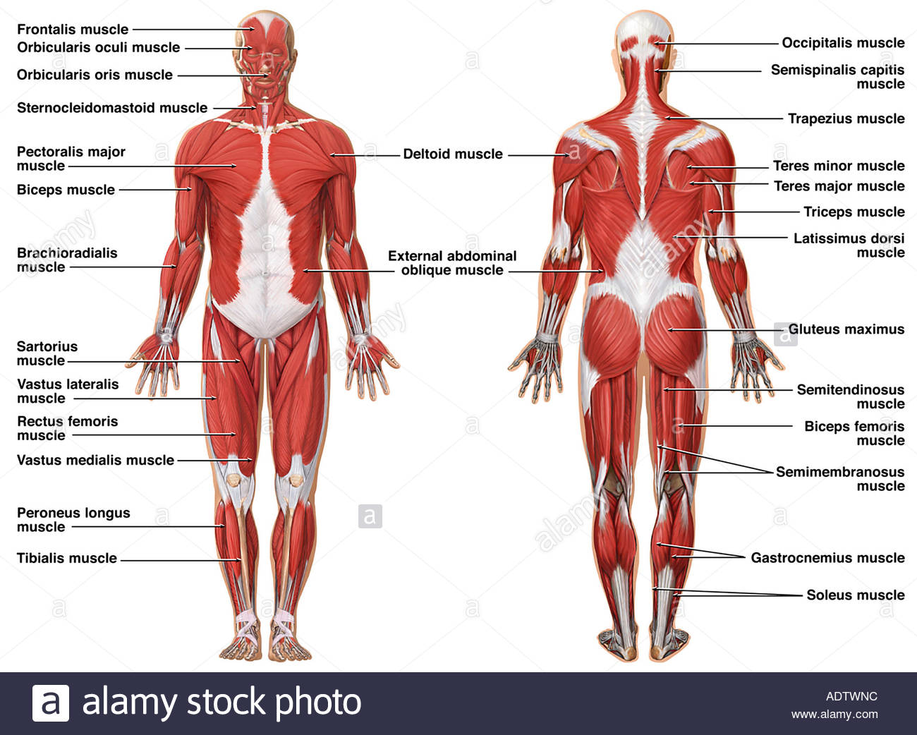hight resolution of 1300x1042 anatomy of the muscular system stock photo 7710491