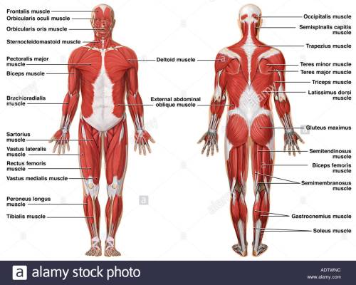 small resolution of 1300x1042 anatomy of the muscular system stock photo 7710491