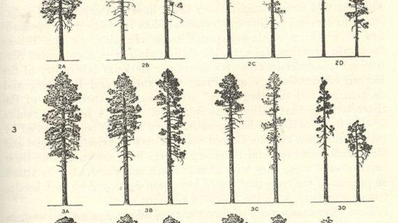 pine trees drawing at