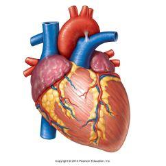 Realistic Heart Diagram Bohr Rutherford For Beryllium Real Human Drawing At Getdrawings Free