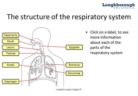 label the following diagram of respiratory system 2004 ford f150 lariat stereo wiring best free drawing images download from 50 450x312 lab chapter 14 ventral view