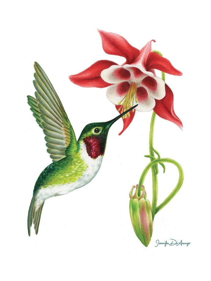 hummingbird diagram of color hotpoint vtd00 wiring the best free throated drawing images download from 41 690x920 ruby and columbine an art print by jennifer
