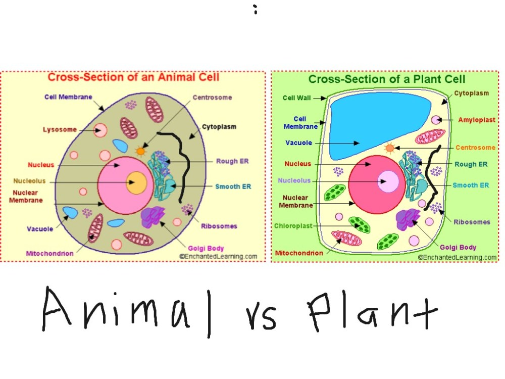 medium resolution of 1024x768 simple plant cell drawing showme