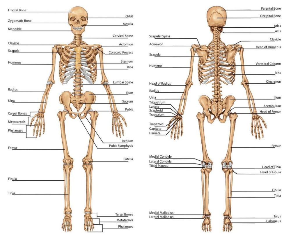 medium resolution of 1024x845 diagram of human upper body awesome skeletal system labeled