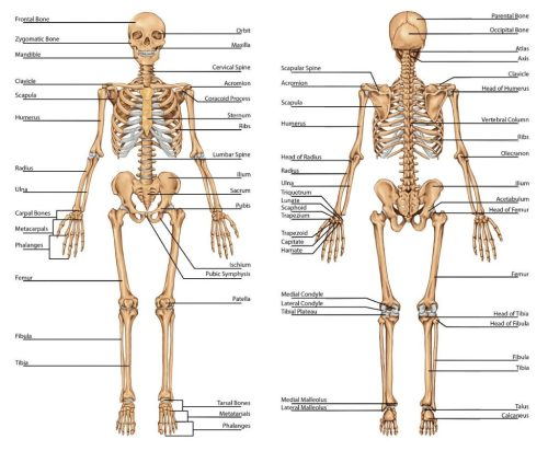 small resolution of 1024x845 diagram of human upper body awesome skeletal system labeled