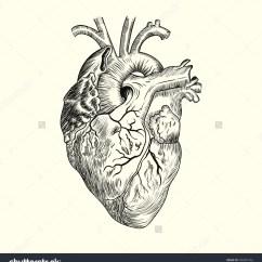 Vintage Red Real Heart Diagram Bud Of Tongue Anatomical Drawing At Getdrawings Free