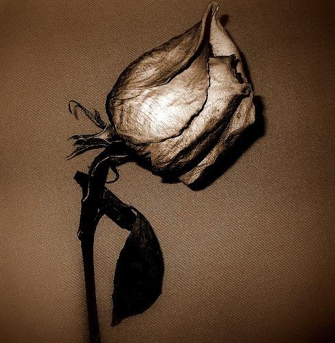 Tumblr Rose Petals Losing
