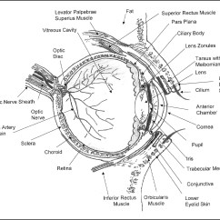 Eye Labeling Diagram Quiz Vw Jetta Stereo Wiring Anatomy Of The Drawing At Getdrawings Free For