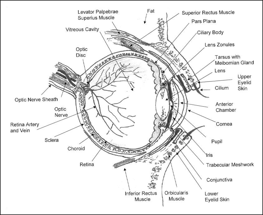 Anatomy Of The Eye Drawing at GetDrawings | Free download