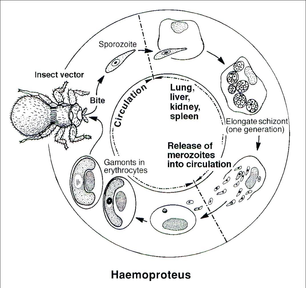 A Animal Cell Diagram
