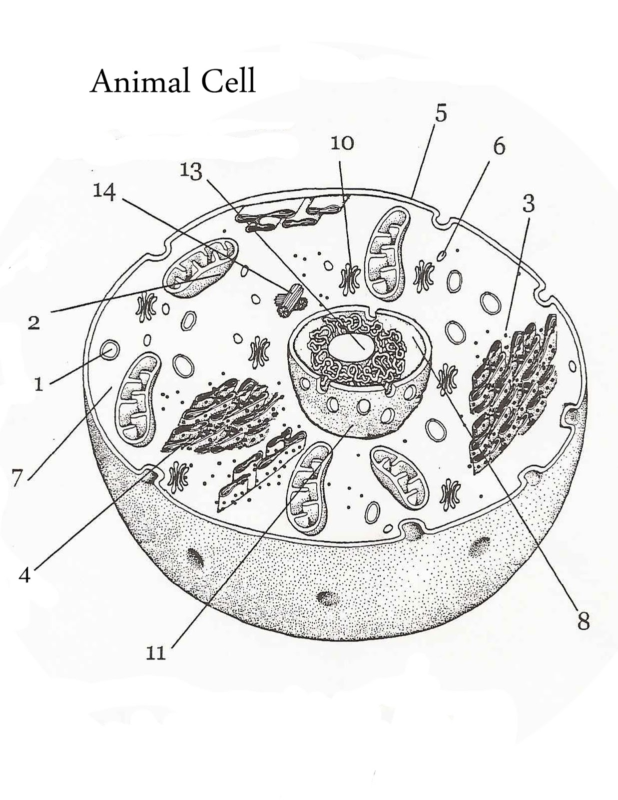 Animal Cells Drawing At Getdrawings