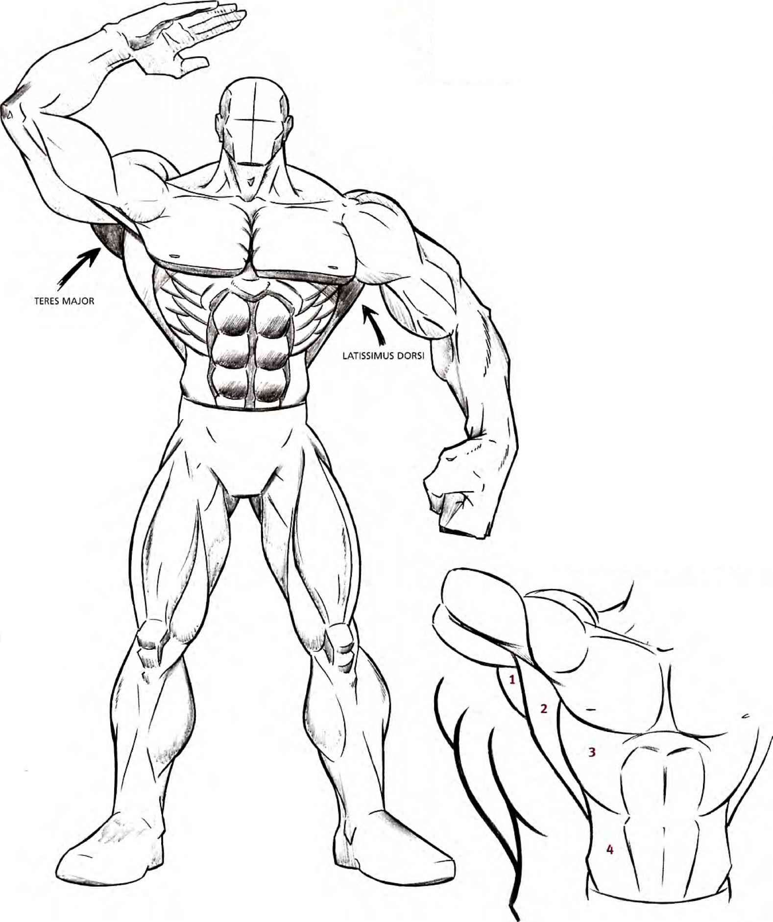 arm muscle diagram arms