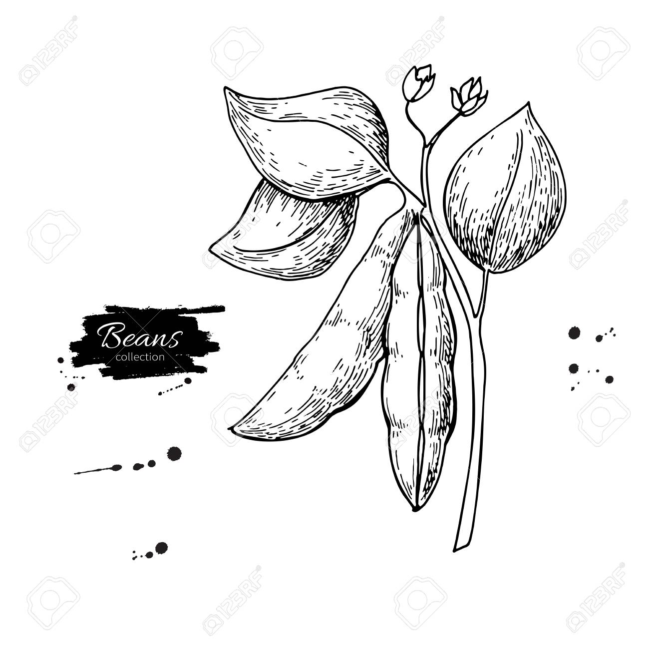 Bean Plant Drawing At Getdrawings