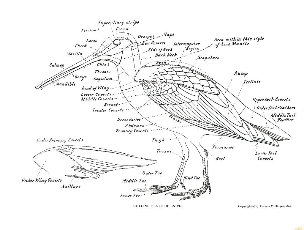 Bird Anatomy Drawing At Getdrawings