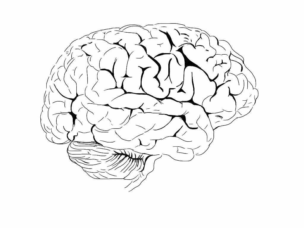 Brain Anatomy Drawing At Getdrawings