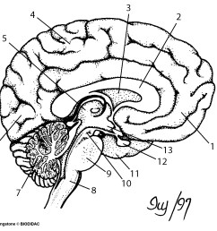 1197x1135 brain cross section diagram unlabeled drawn brain unlabelled [ 1197 x 1135 Pixel ]
