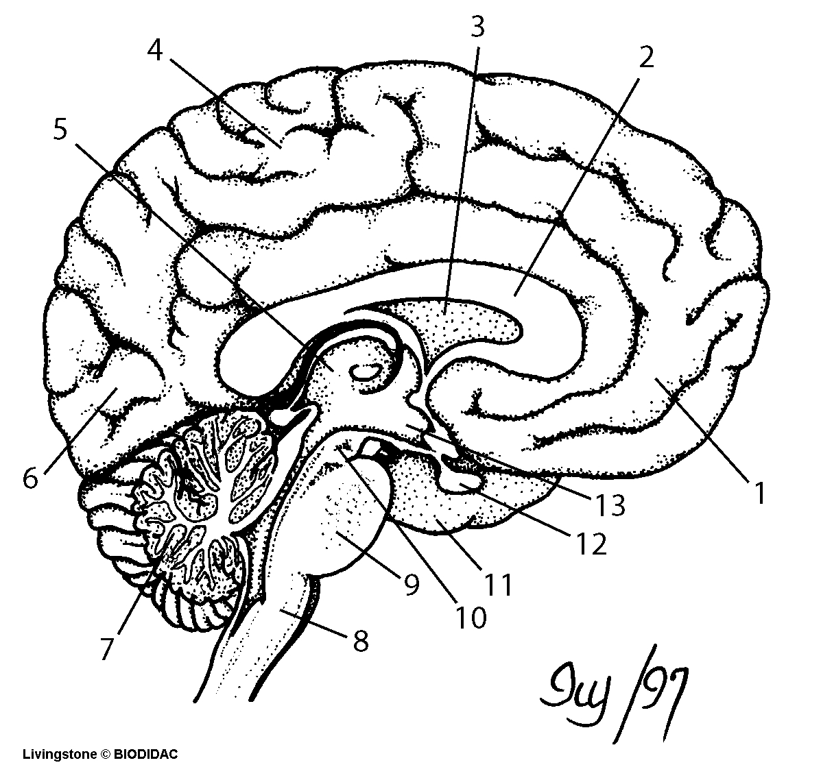 hight resolution of 1197x1135 brain cross section diagram unlabeled drawn brain unlabelled