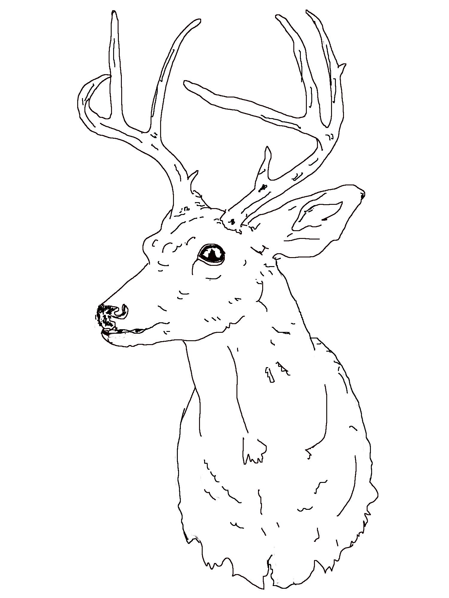 Buck Line Drawing At Getdrawings