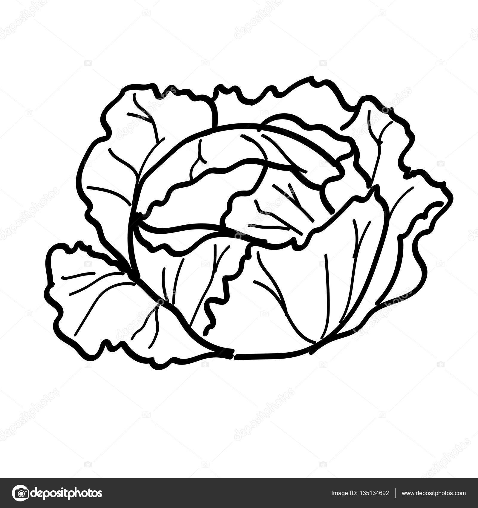Cabbage Drawing At Getdrawings