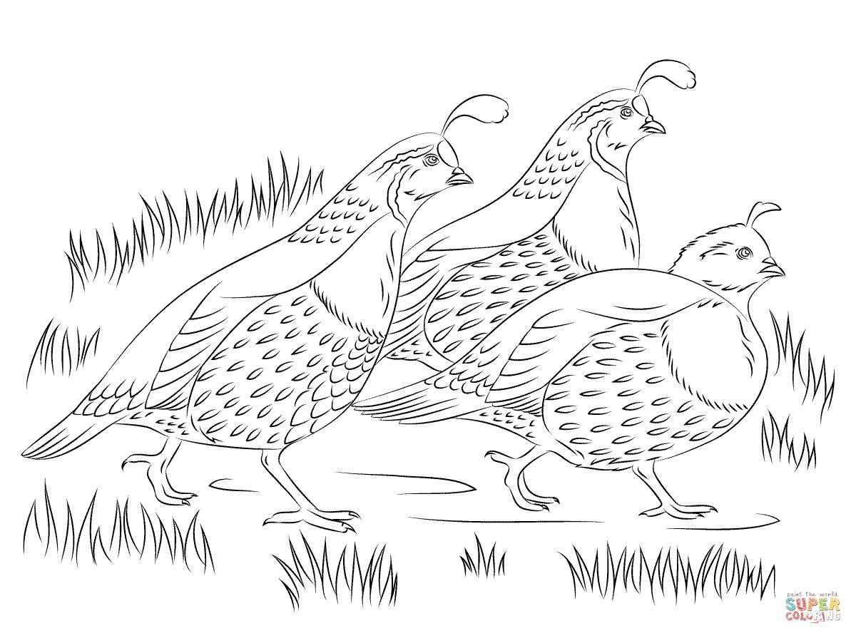 California Quail Drawing At Getdrawings