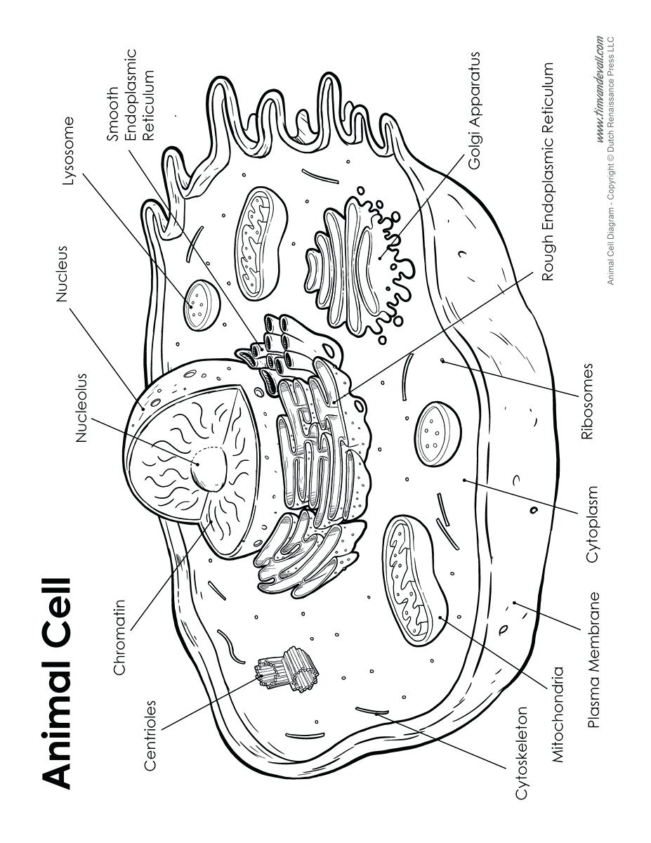 hight resolution of 927x1200 diagram diagram cell labeled animal