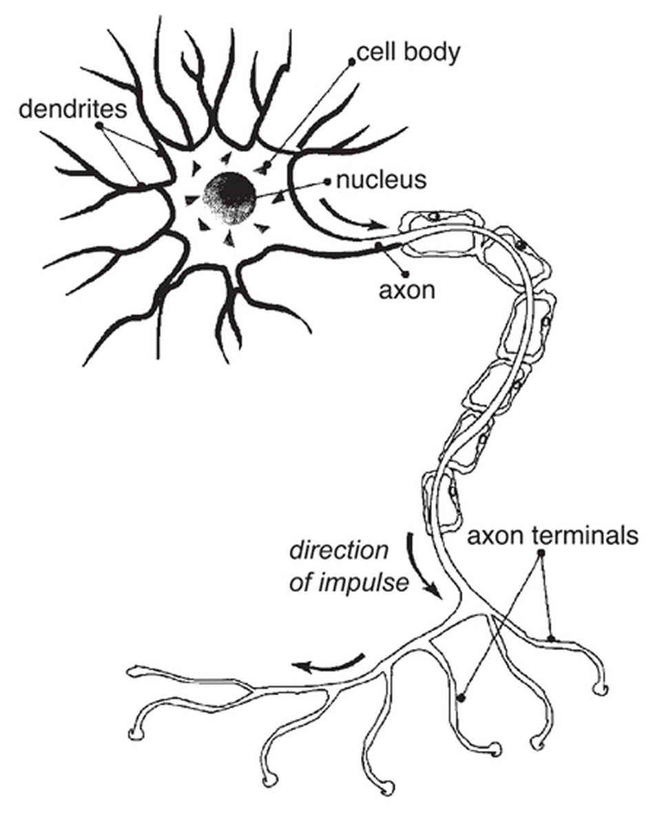 hight resolution of 948x1187 nerve cell diagram labeled with organelles diagram