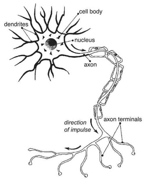 small resolution of 948x1187 nerve cell diagram labeled with organelles diagram